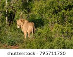 a lion looks behind while... | Shutterstock . vector #795711730