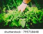 gardening  weeding weeds....   Shutterstock . vector #795718648