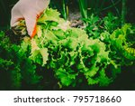 gardening  weeding weeds....   Shutterstock . vector #795718660