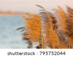 common reed  phragmites...