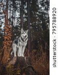 Small photo of Alaskan Malamute in the forest like a wolf