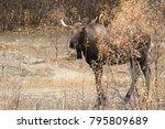 bull moose  yucon  canada   Shutterstock . vector #795809689