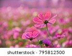 cosmos flower in the garden   Shutterstock . vector #795812500