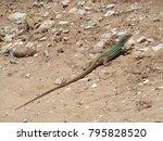 Lizard Basking In The Sun....