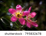 beautiful ceiba speciosa | Shutterstock . vector #795832678