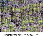silk floss tree  ceiba speciosa ... | Shutterstock . vector #795852274