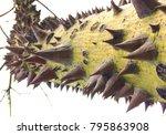 ceiba speciosa  silk floss tree ... | Shutterstock . vector #795863908