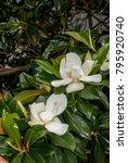southern magnolia  magnolia... | Shutterstock . vector #795920740