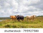 cows grazing on open land in... | Shutterstock . vector #795927580