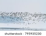 thousands of ducks fly over the ... | Shutterstock . vector #795935230