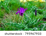 iris pumila blue purple flower... | Shutterstock . vector #795967933