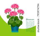 geranium indoor plant in pot... | Shutterstock .eps vector #795974794