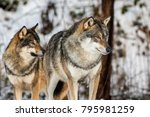 grey wolf  canis lupus  two... | Shutterstock . vector #795981259
