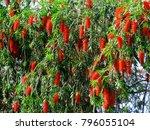 Bottlebrush Tree. Natural...