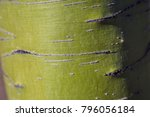 palo verde green tree bark...   Shutterstock . vector #796056184