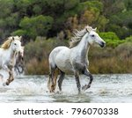 white camargue horses galloping ... | Shutterstock . vector #796070338