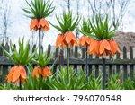 fritillaria imperialis  crown... | Shutterstock . vector #796070548