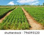 a green basil field against... | Shutterstock . vector #796093120