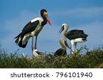 male saddle billed stork on... | Shutterstock . vector #796101940