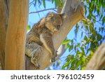 Close Up Of Adult Male Koala ...