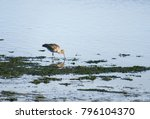 Black Tailed Godwit Searching...
