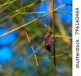 Common Australian Gum Tree Bug...
