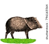 peccary stands in the grass... | Shutterstock .eps vector #796165564