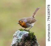 erithacus rubecula robin | Shutterstock . vector #796180978