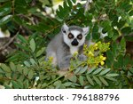 Ring Tailed Lemur Sitting In A...