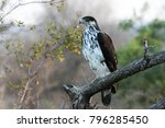 Small photo of African Hawk-Eagle perched on a branch.