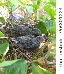 Small photo of Young bird flapper sleep in nest on jasmine tree in nature