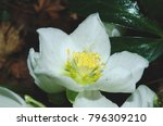 black hellebore also known as...   Shutterstock . vector #796309210