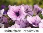Closeup Petunia Flowers  Purpl...