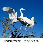beautiful white egrets snowy...   Shutterstock . vector #796379578