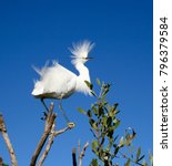 beautiful white egrets snowy...   Shutterstock . vector #796379584
