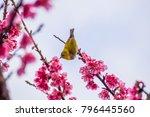 chestnut flanked white eye ... | Shutterstock . vector #796445560