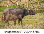 thai mother buffalo and baby... | Shutterstock . vector #796445788