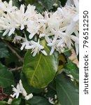 coffee flower on tree. | Shutterstock . vector #796512250