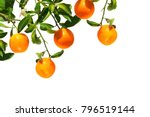 oranges on a branch. citrus... | Shutterstock . vector #796519144
