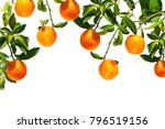 oranges on a branch. citrus... | Shutterstock . vector #796519156