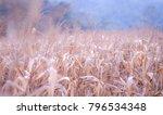 dried corn in mae hong son | Shutterstock . vector #796534348