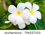 frangipani or plumeria blossom... | Shutterstock . vector #796537510