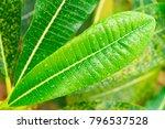 frangipani or plumeria green... | Shutterstock . vector #796537528
