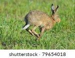 Stock photo european hare running across a meadow 79654018