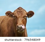 brown cow portrait on the blue... | Shutterstock . vector #796548049
