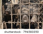 piglets are trapped in mud. | Shutterstock . vector #796583350