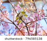 beautiful bird chestnut...   Shutterstock . vector #796585138