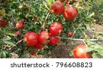 Pomegranate Fruit From...