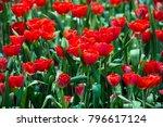 red tulips in the garden   Shutterstock . vector #796617124