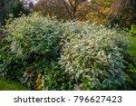 cornus alba  ivory halo  '... | Shutterstock . vector #796627423